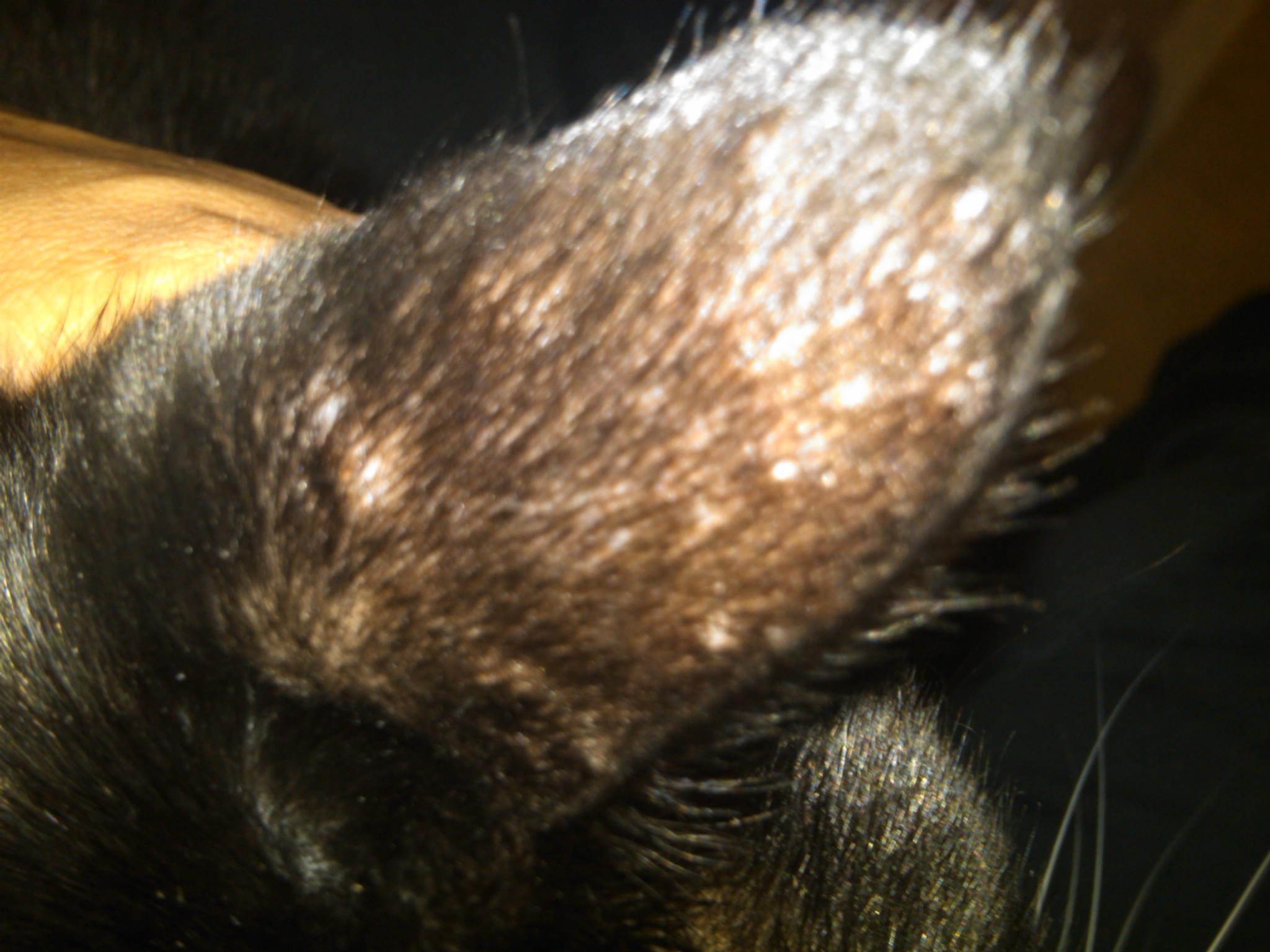 Lump Inside Cat S Ear
