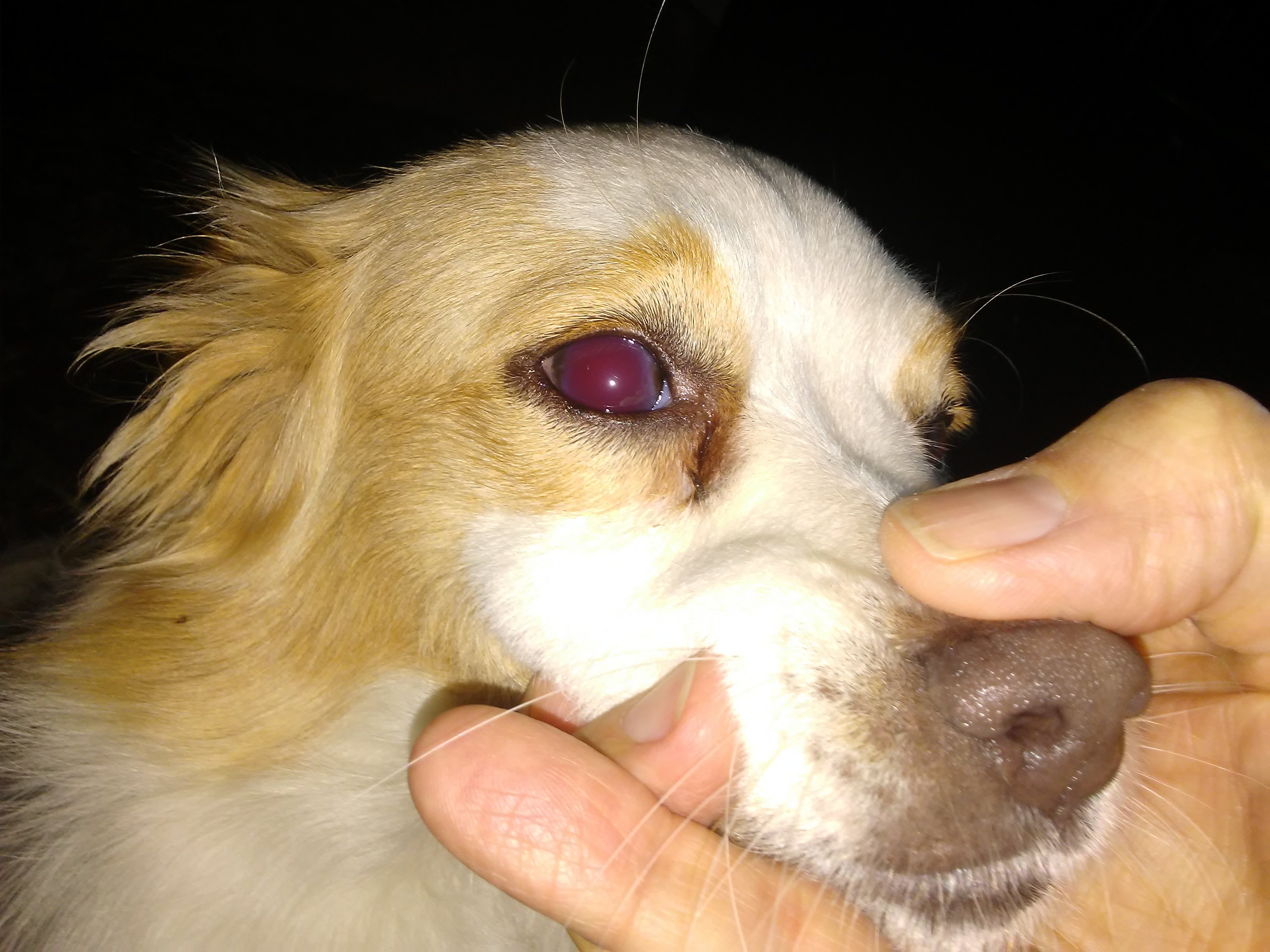dogs eye is red
