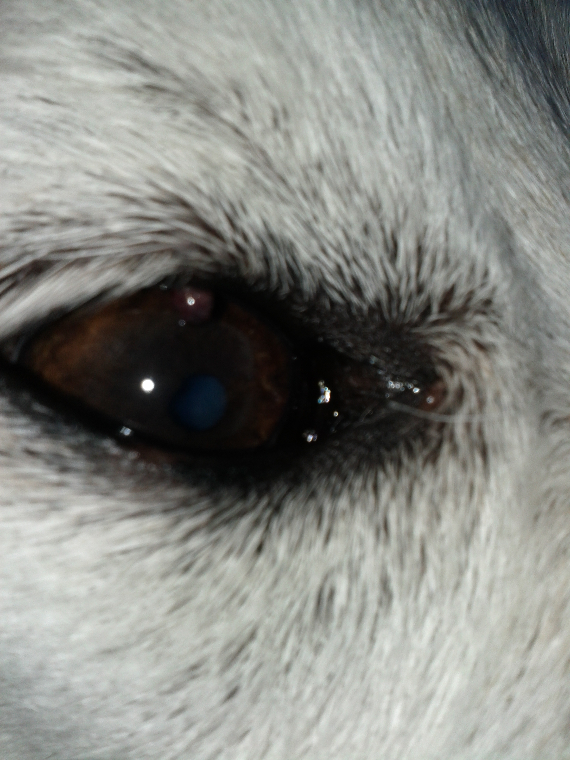 My dog has a stye or cyst in his upper eyelid  What should I do?