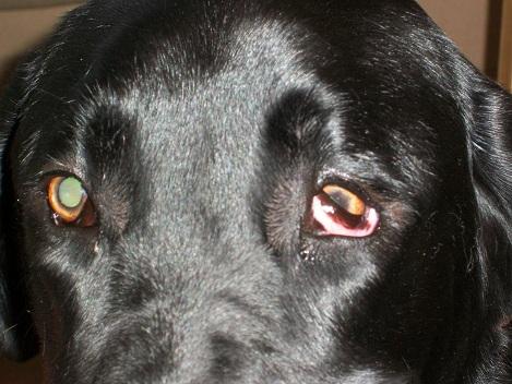 droopy lower eyelid dog