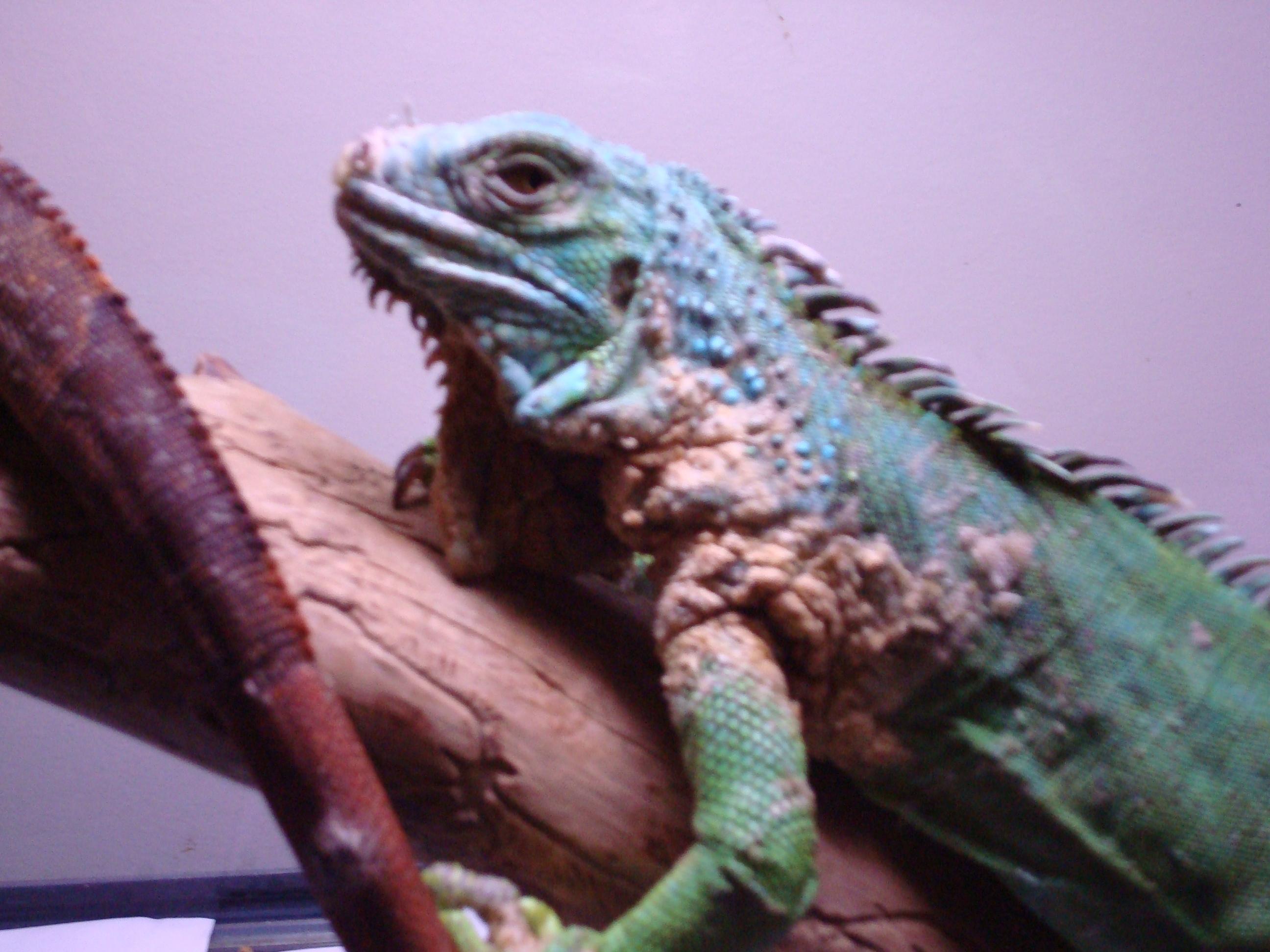 i have a iguana with a brownish