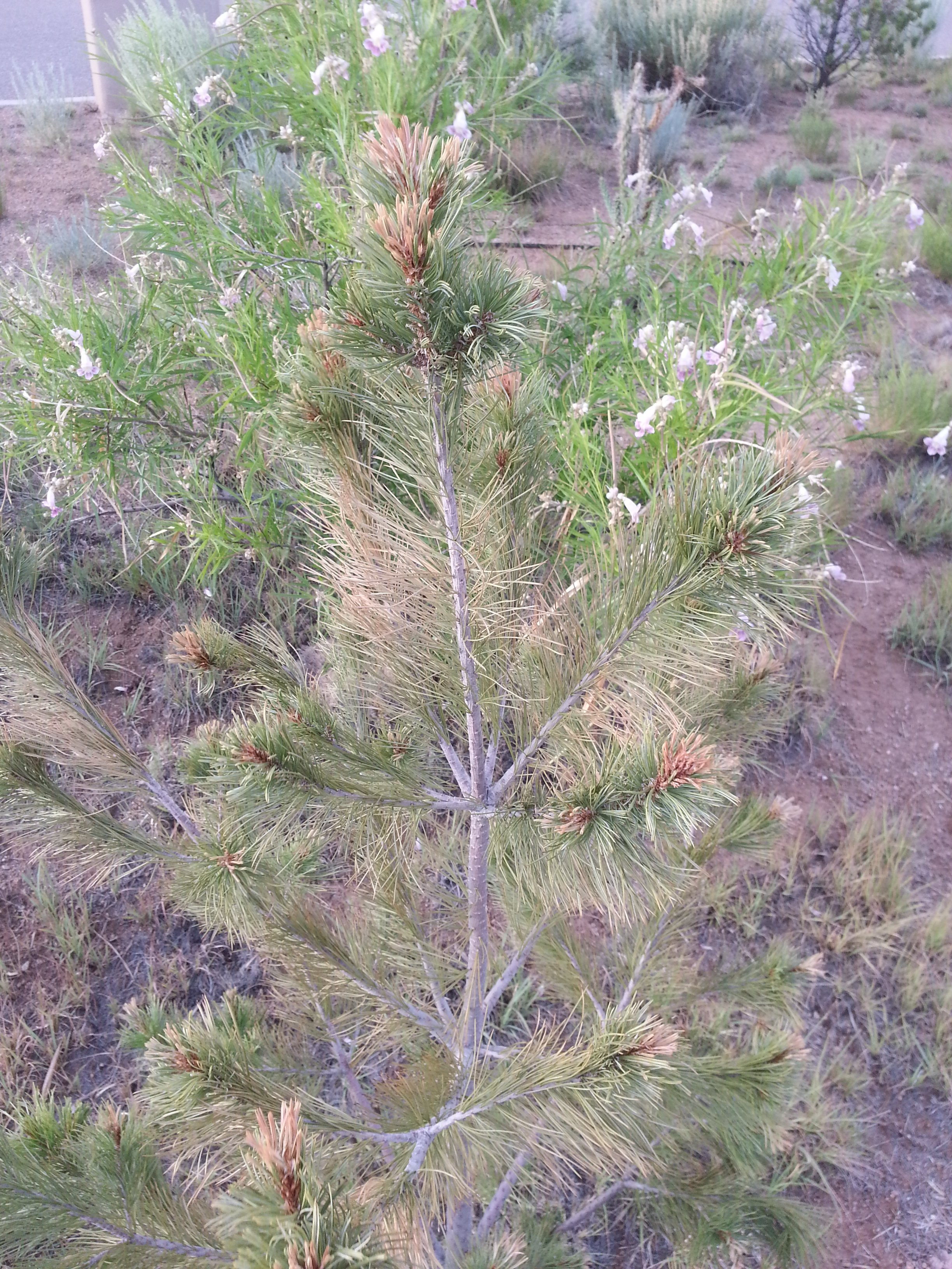 Diseased White Pine