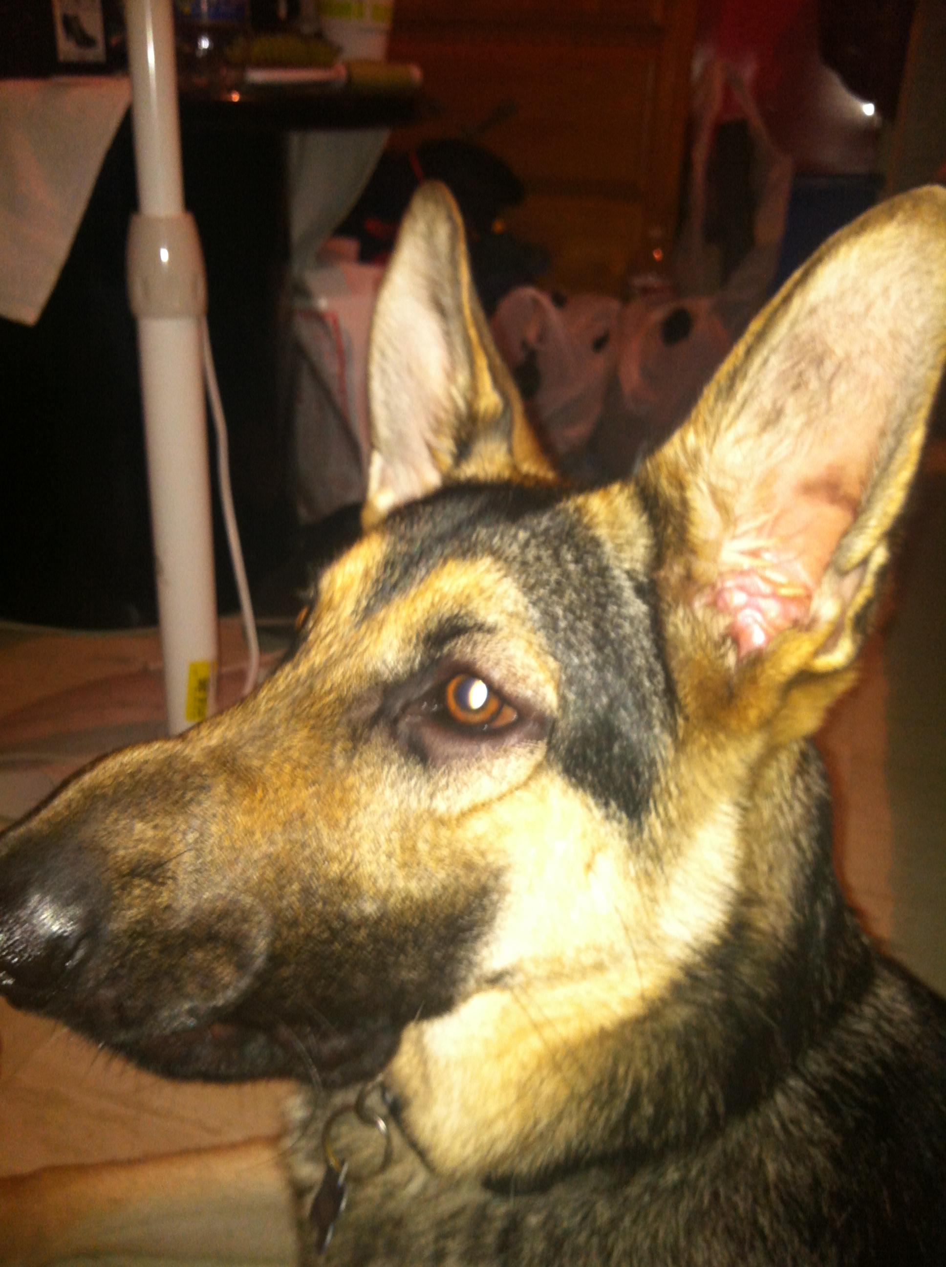 Dog Puffy Eyes Benadryl