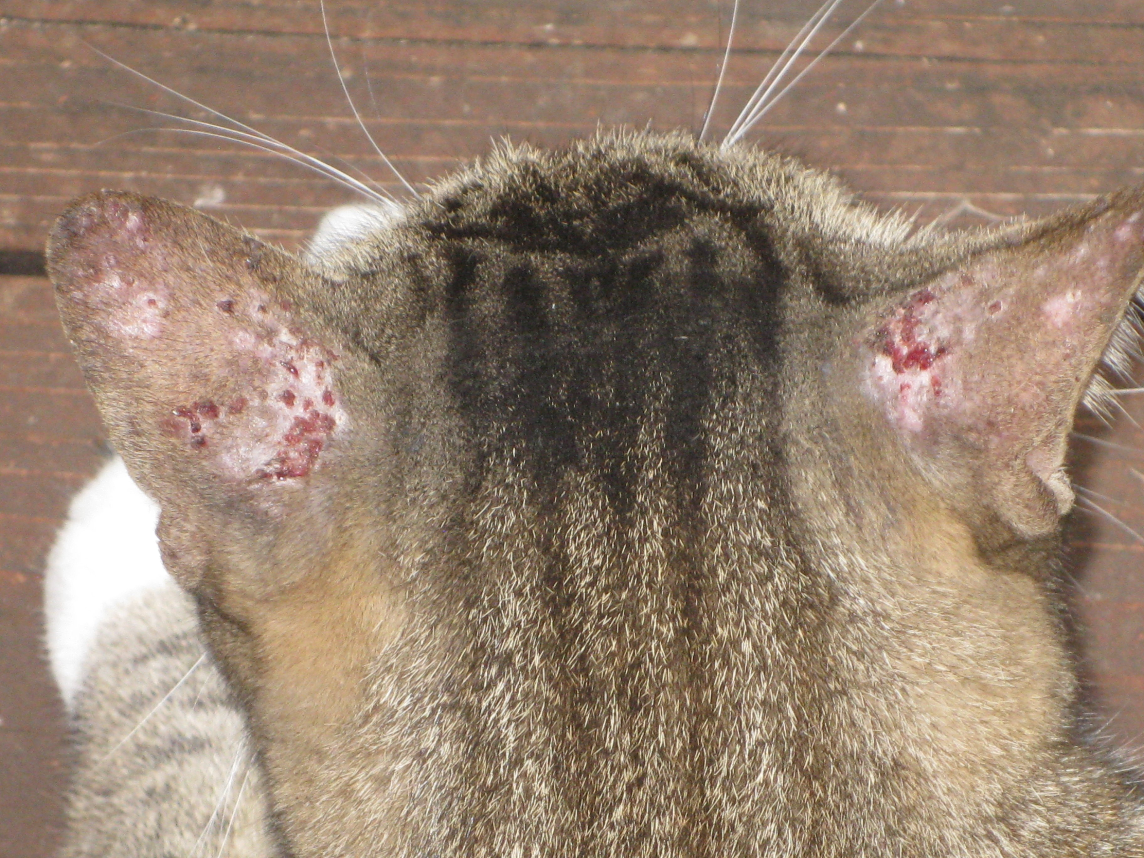 Scabs On Cats Ears