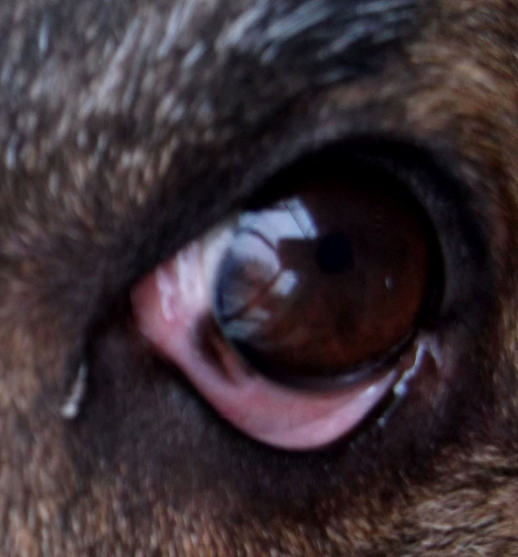 white spot on dog eye