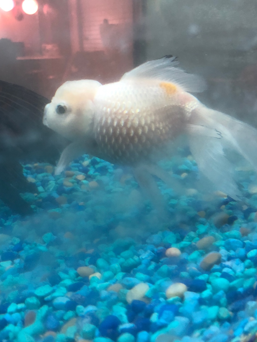 I have two oranda goldfish and one just recently started to grow a