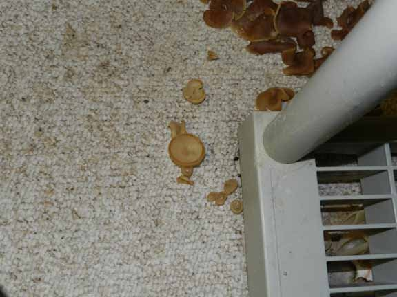 How Do I Handle Quot Domicile Cup Fungus Quot Growing In My