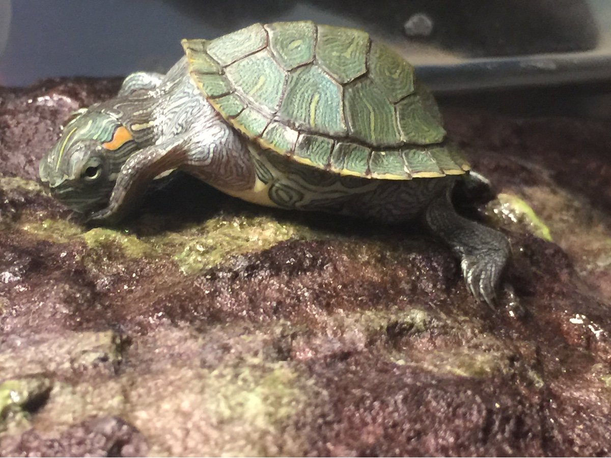 I think my turtle has MBD  I'm a new turtle owner and didn't