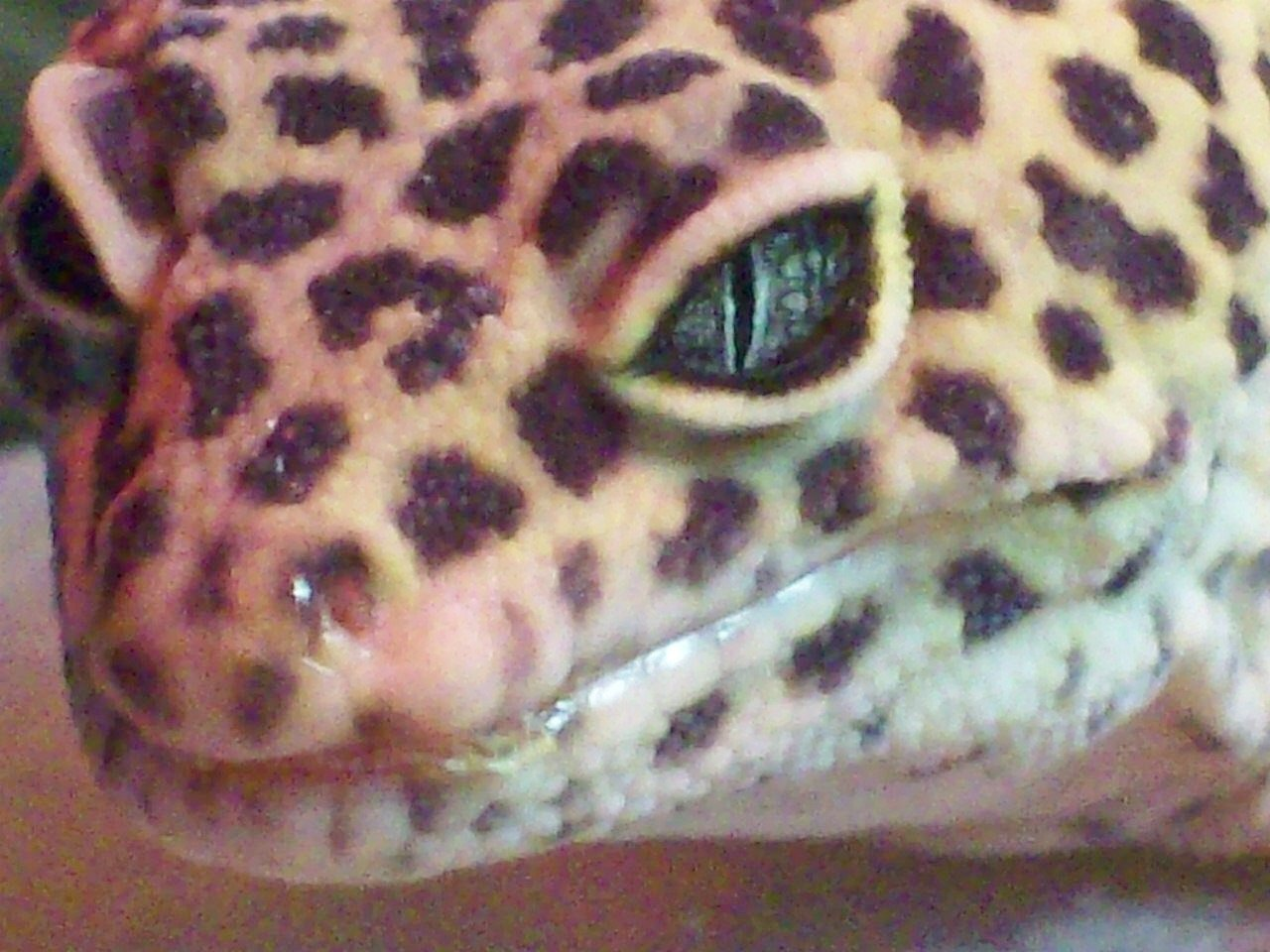 What S Going On With My New Leopard Gecko