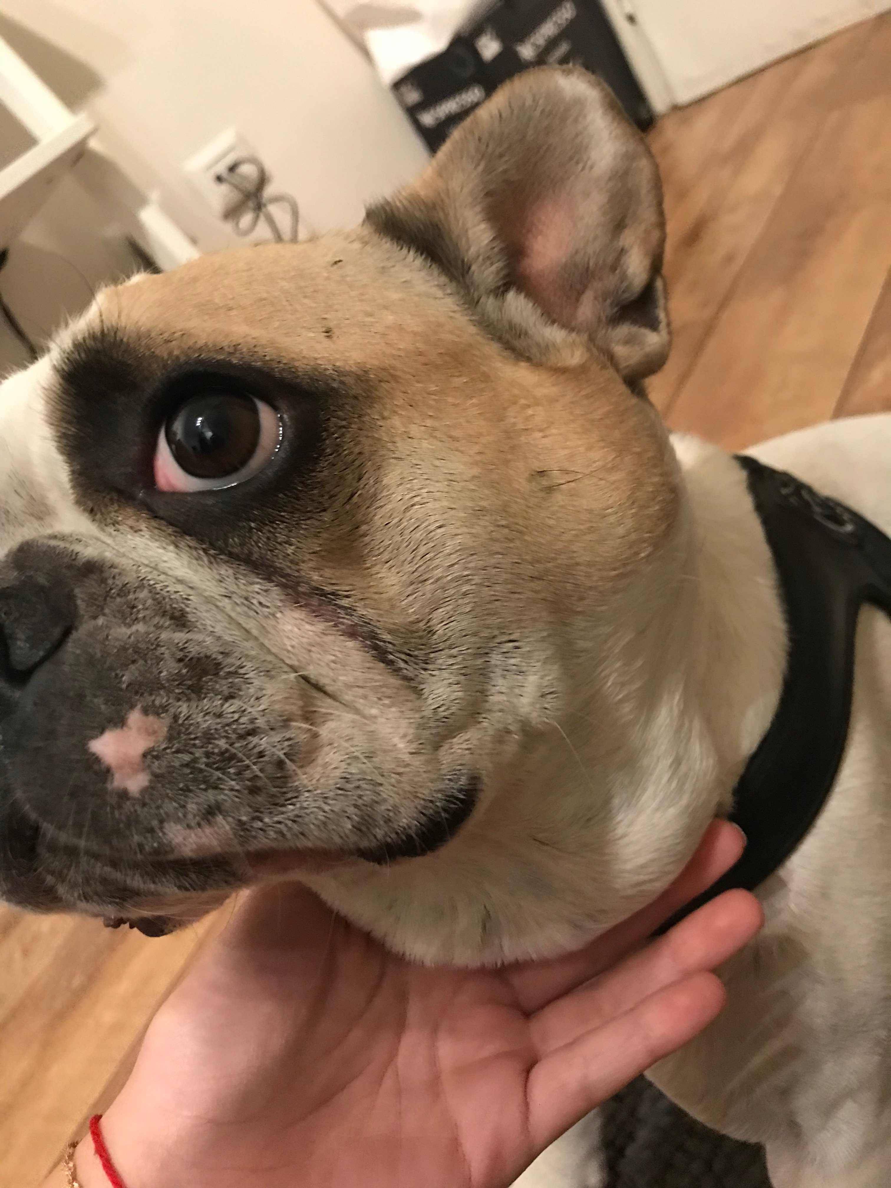 My french bulldog developed a lump on the side of his neck