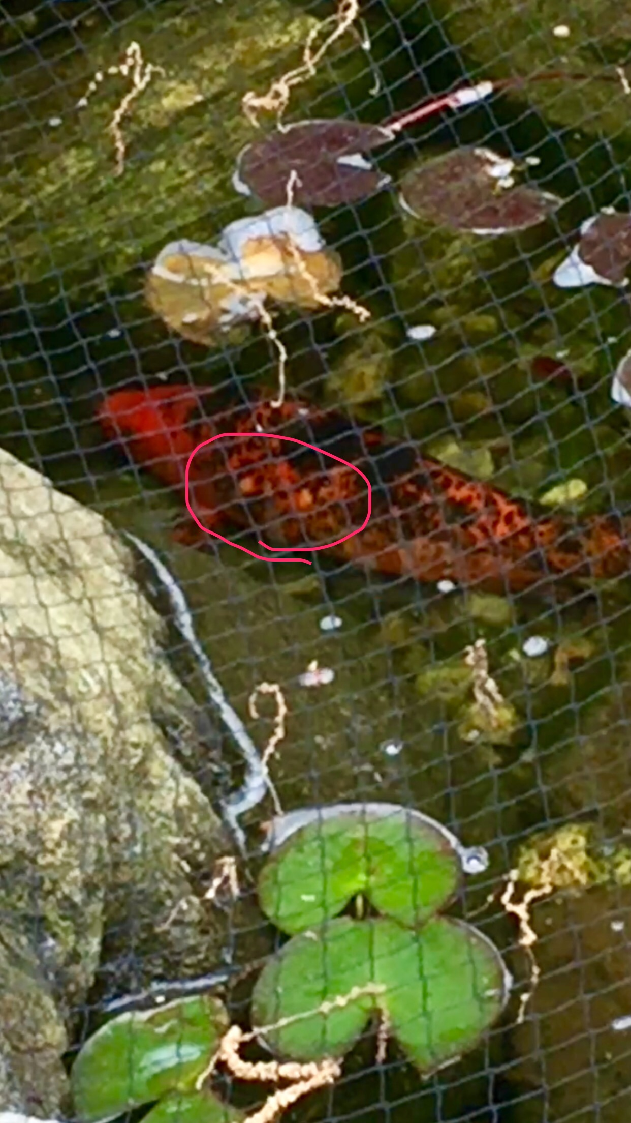 I have an aquascape eco pond with 4 koi that holds approximately