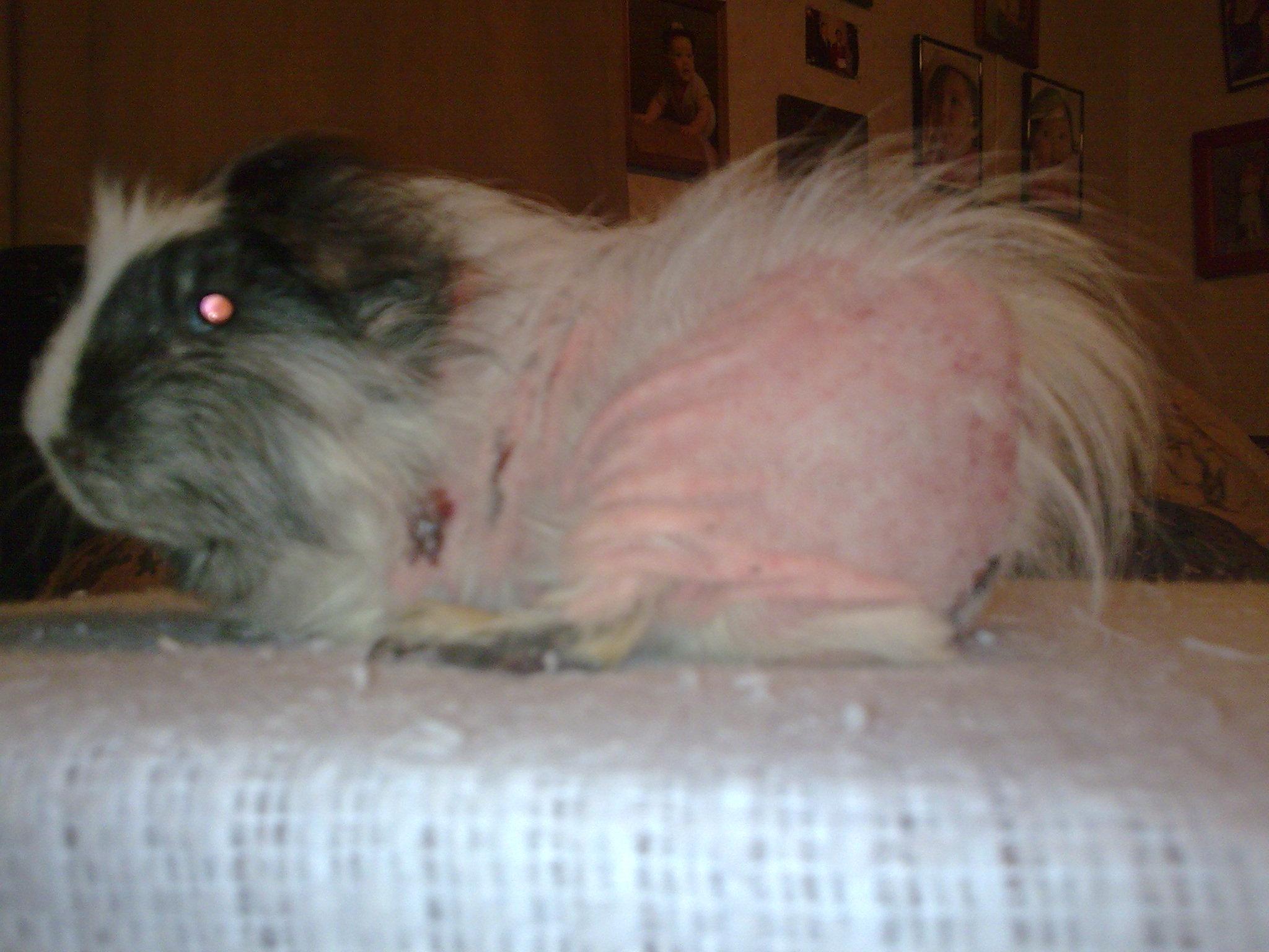 Guinea Pig Rescue Houston