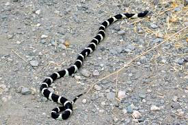 California Kingsnakes will not