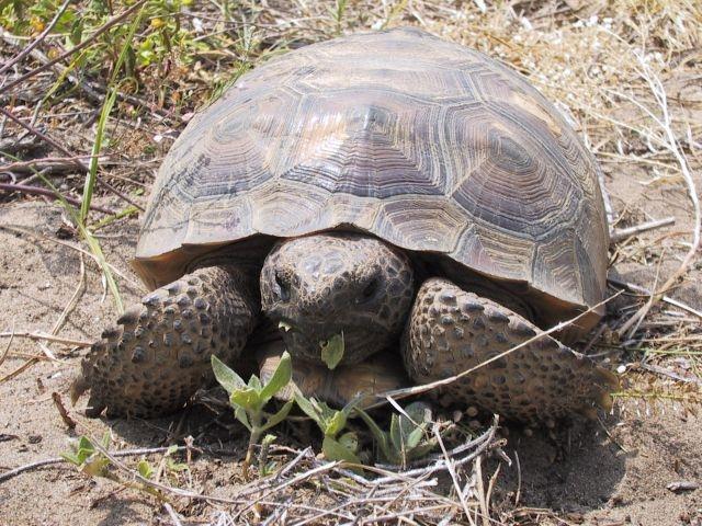 Found a tortoise in AZ not desert tortoise four toes on front feet ...