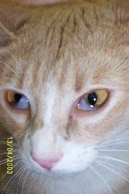 Cat Inner Eye Infection
