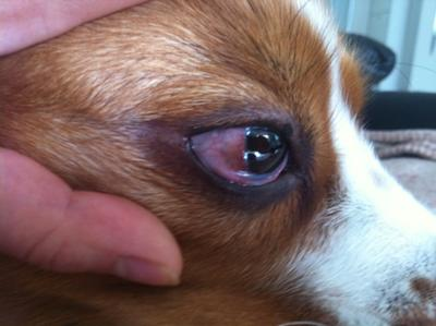 How To Get Rid Of Cherry Eye On A Dog